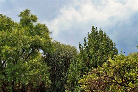 tops of trees free stock photo public domain pictures