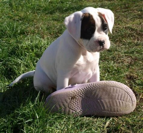 purebred boxer puppies for sale purebred boxer puppies for sale perth australia free classifieds muamat