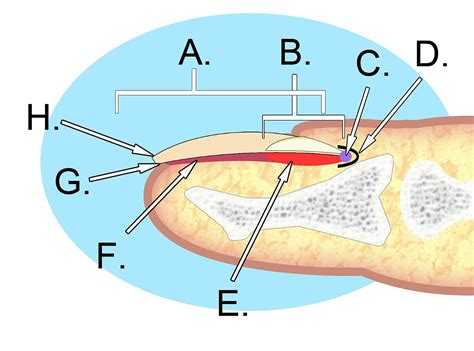what is a nail bed file human nail anatomy jpg wikimedia commons