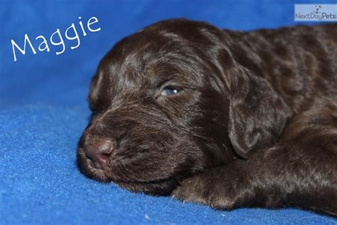 aussiedoodle puppies for sale near me aussiedoodle puppy for sale near jackson tennessee 81934e7e 2b81