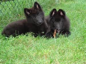 belgian sheepdog trust faq belgian sheepdog rescue trust