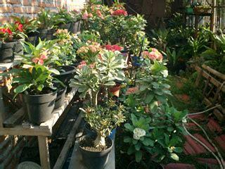 Pupuk Bunga Euphorbia media tanam euphorbia potkembangku