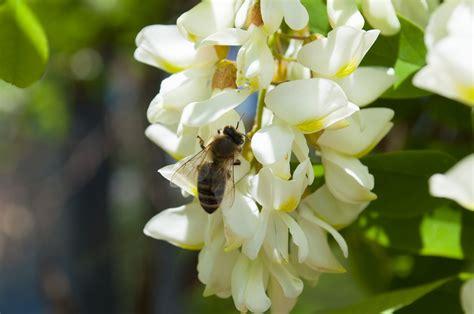 acacia in fiore acacia l albero miele dal fiore bellissimo e