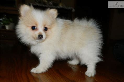 pomeranian breeders indiana pomeranian puppy for sale near south bend michiana indiana b00d47da 9121