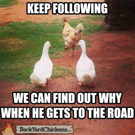 Chicken Meme - 41 best chicken memes images on pinterest chicken coops