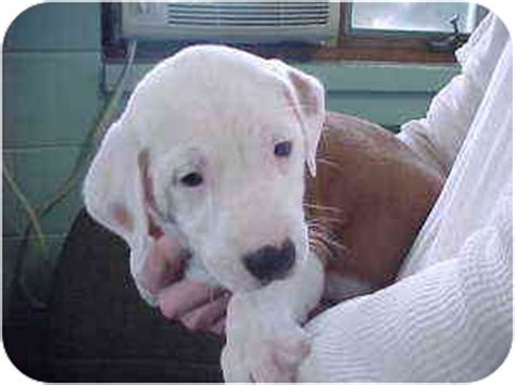 bulldog and golden retriever mix blossom adopted puppy rochester mi golden retriever american bulldog mix