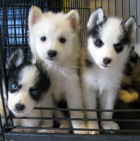 american husky puppy alaskan klee puppies breed of siberian husky schipperke and american