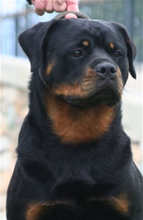 cammcastle rottweilers 2013 arc national specialty breeds picture