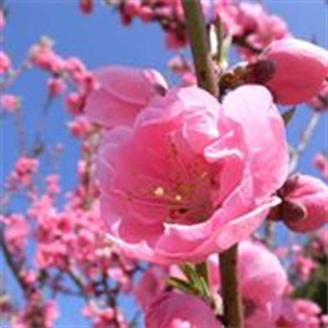 significato fiori di pesco tatuaggi fiori di pesco significato fiori fiori di
