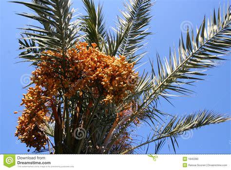 palm tree orange fruit palmtree with fruits stock photo image 1845390