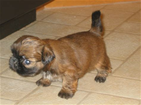 7 week shih tzu puppy care sandraker shih tzu shih tzu puppies for sale bred from chion parents