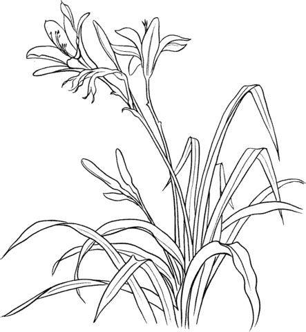 tiger lily coloring page tiger lily coloring pages coloring pages