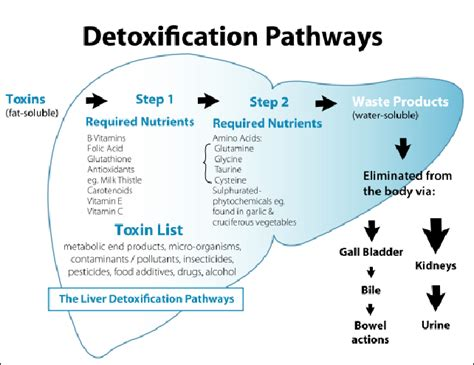 Human Detox System by The Detoxification And Biotransformation System In The
