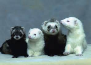 ferret colors ferret