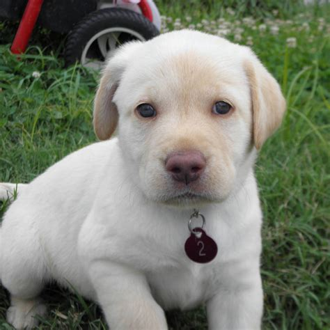 dudley lab puppies yellow lab puppies for sale