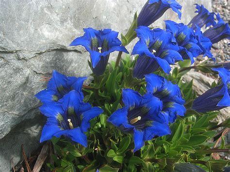 fiore di genziana lemiepiante enciclopedia dei fiori e delle piante