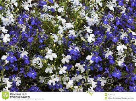 lobelia fiore lobelia dei fiori e bianchi fotografia stock