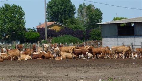 razione alimentare bovini da latte la ricerca in aiuto dei bovini da carne agronotizie