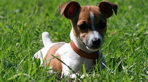 imagenes de un jack russell 161 razas de perro peque 209 os 16 perros medianos mini y toy