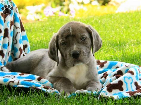 great dane bull puppies for sale great dane mix puppies for sale greenfield puppies