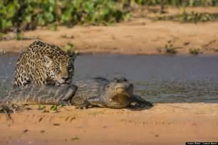 Jaguar Caiman Fight Fight Hungry Jaguar Attacks Caiman In Brazil S Pantanal
