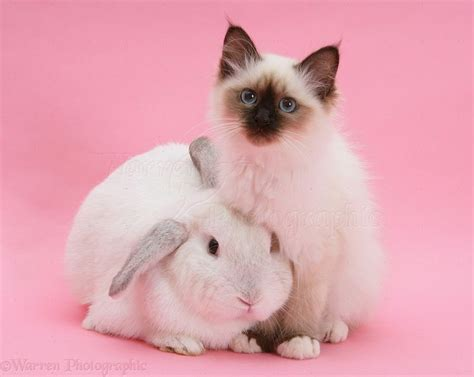 Cats Pink pink rabbit photography wp20365 birman kitten and white