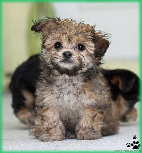 smooth coat mi ki puppies for sale 209 best mi ki images on doggies puppies and breeds