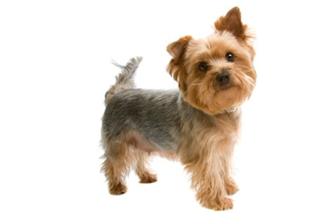 smallest yorkie breed istock 000005270808xsmall jpg terrier breeds