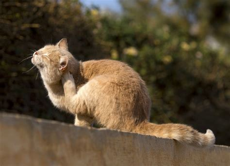 how to your cat like a what do fleas look like on cats www pixshark images galleries with a bite