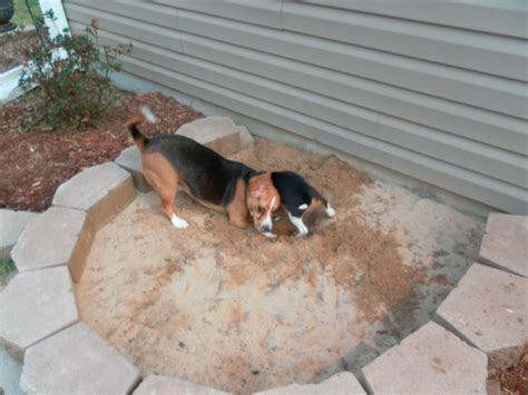 dog digging couch best 25 dog friendly backyard ideas on pinterest