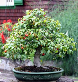 Planter Des Fougères by Bonsa 195 175 Cerisier De Cayenne Eugenia Uniflora L
