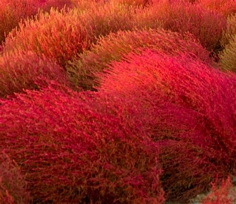 kochia burning bush gardening pinterest