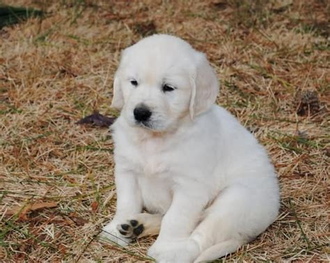 golden retriever white puppies 50 most stunning white golden retriever photos and images
