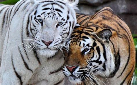 imagenes de tigres verdes el tigre de bengala o panthera tigris tigris informaci 243 n
