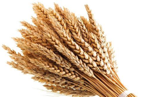 come si cucina il grano propriet 224 frumento tutti i benefici cucinarefacile
