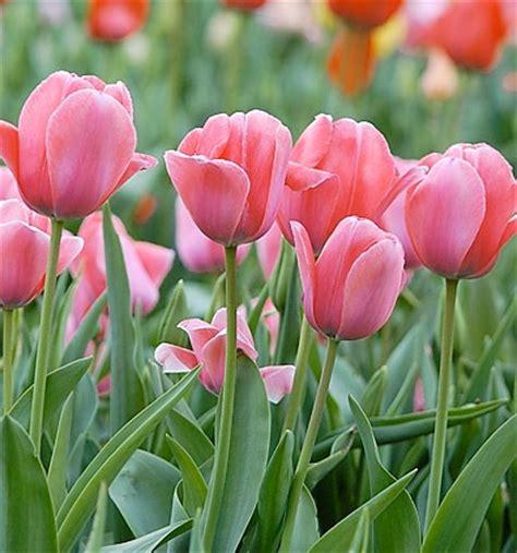 Low Height Bed tulipa gesneriana menton havlis cz