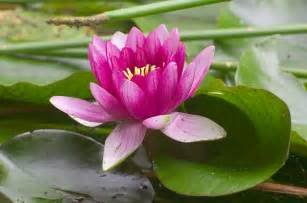 Lotus Blossom Image Gallary Lotus Flower