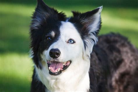 Do Border Collie Shed by The 25 Best Border Collie Shedding Ideas On Border Collies Border Collie And