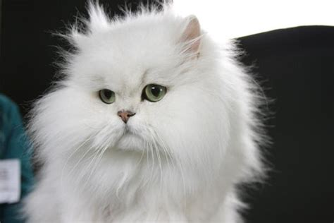 persiani chinchilla chinchilla longhair cat animals wiki