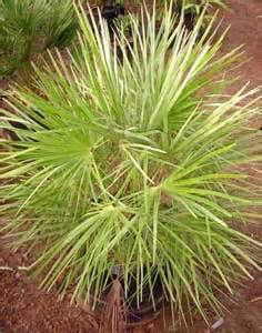 palms throughout the world palm trees green palm trees growing palm trees musa palm manufacturers suppliers