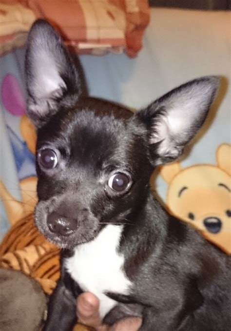 puppies el paso pin chihuahua puppies el paso animals tiny puppy pictures on