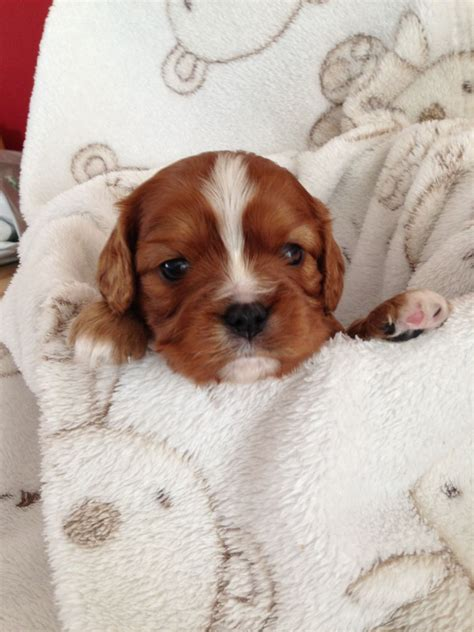 st charles puppy cavalier king charles spaniel puppies for sale st helens merseyside pets4homes