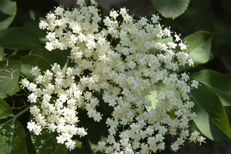 sambuco fiori sambuco insegnare il verde pierina boranga