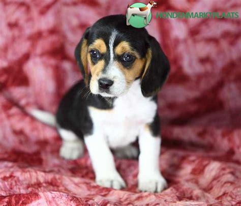 honden pups advertenties honden pups te koop vinden of schattige beagle pups te koop honden