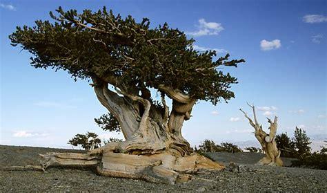 bristlecone pine tree california mystic nephicode how reliable are scientific dates part ii