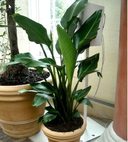 tropical foliage house plants top 10 tropical house plants any one can grow the self