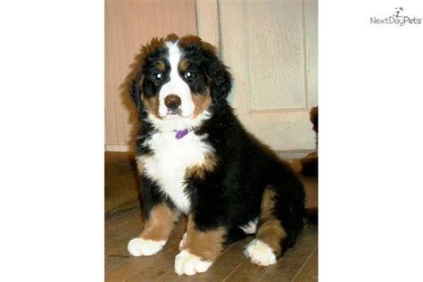 bernese mountain puppies wi bernese mountain for sale for 1 400 near eau wisconsin 4b2742ef 66e1