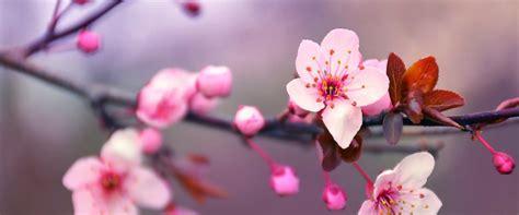 immagini fiori di ciliegio fiori di ciliegio fai da te tante idee e tutorial