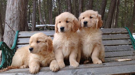 golden retriever breeders toronto golden retriever puppies in city of toronto ontario puppiesforsaleontario