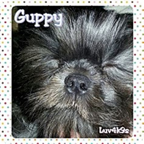 shih tzu rescue ohio dayton ohio dayton oh shih tzu meet guppy a puppy for adoption